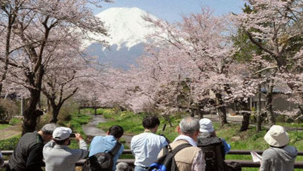 PHOTO : White-capped Mt. Fuji and cherry blossoms