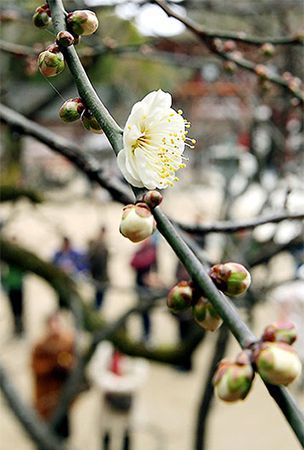 Ume blossoms herald spring at depth of winter