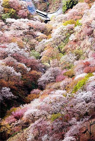 World Heritage-listed Nara mountain bathed in pale pink of cherry blossoms