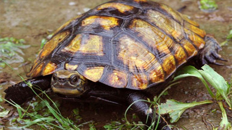 Japan slaps temporary ban on exports of rare turtles
