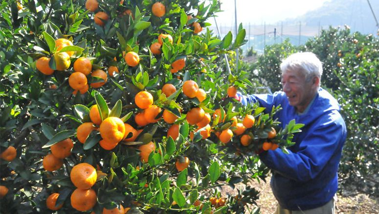 'Miraculous' 859-year-old mandarin trees still producing bumper crops in Oita Pref.