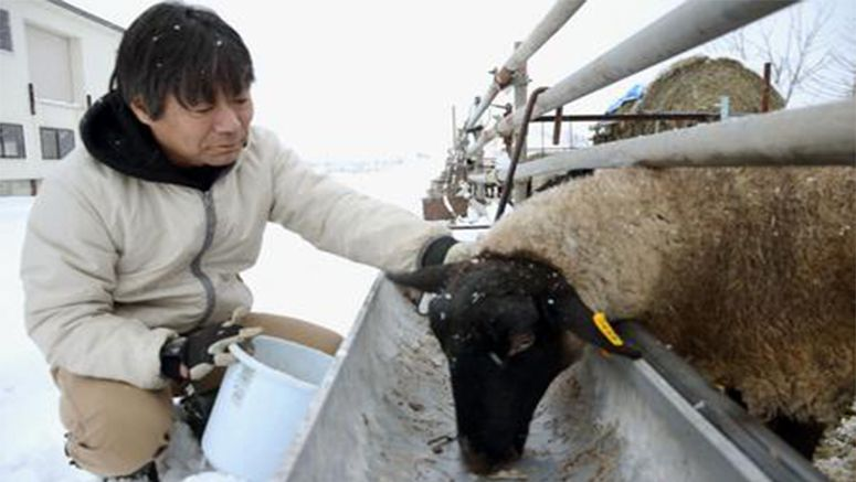 Sheep being raised on asparagus to revitalize Hokkaido town