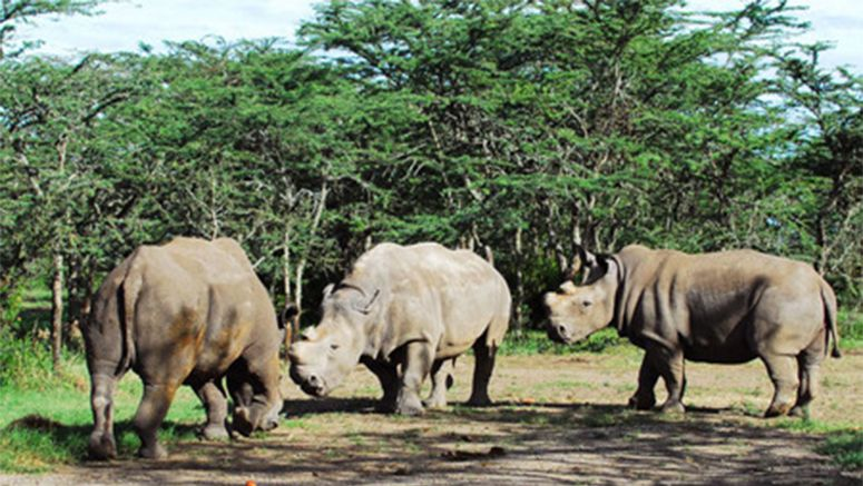 Japan, German researchers trying to save endangered rhinos using iPS