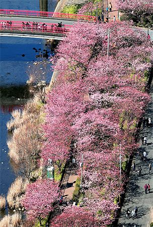 Mild winter brings cherry blossoms to Izu 10 days early