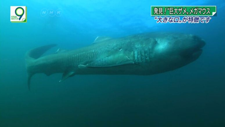 rare megamouth shark captured near tokyo auto moto japan bullet