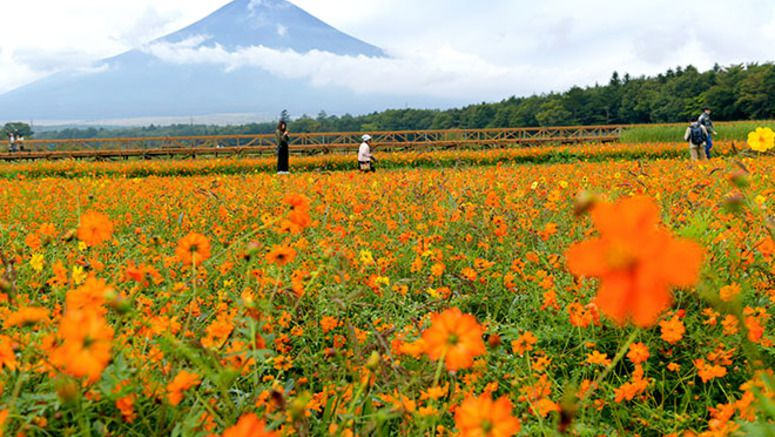 Sulfur cosmos and Mount Fuji offer fall photo op in Yamanashi