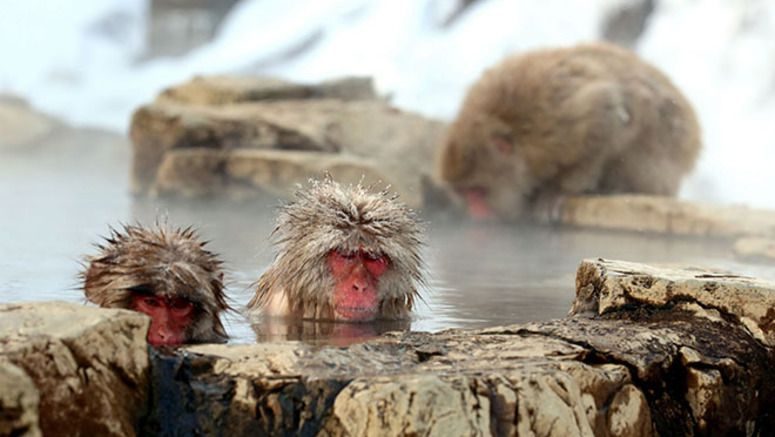 The Jigokudani Yaen-Koen monkey park has been in the grip of a big freeze lately