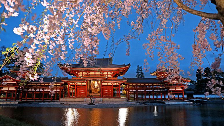 Byodoin temple offers nightly viewing with sakura in bloom
