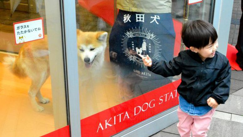Akita Inu dogs on display offer photo chance at Akita station