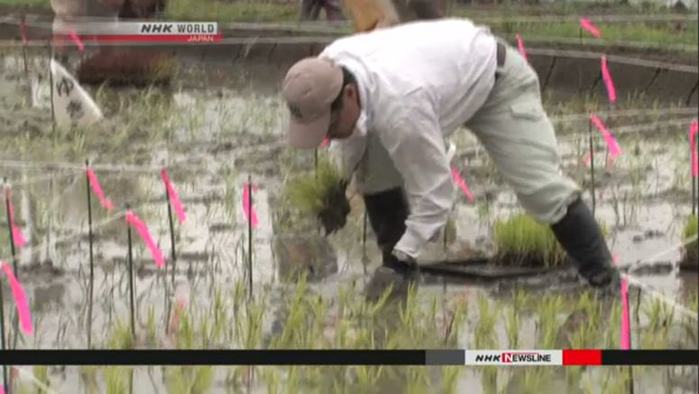 Seedlings planted for rice field mosaic