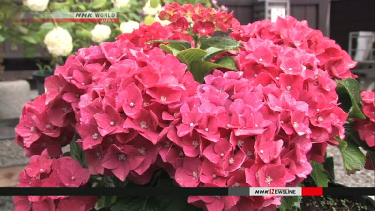 Hydrangeas in full bloom at Buddhist temple