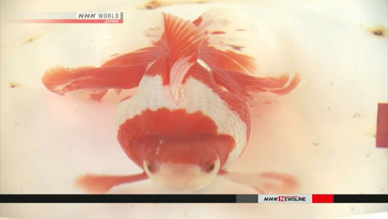 Japan's best goldfish competition