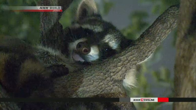 Raccoon causes chaos in heart of Tokyo