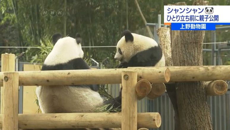 Popular panda starts on road to independence