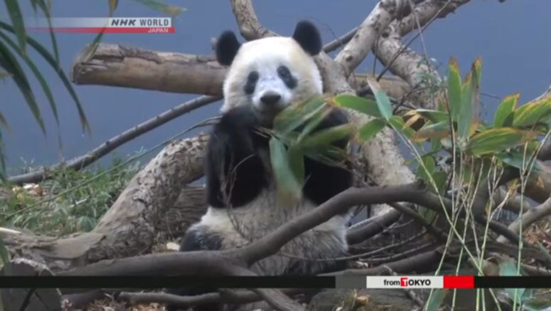 Star panda cub in Tokyo begins to live alone