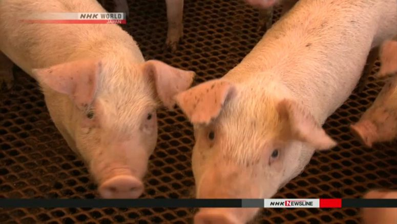 Swine fever spreads in central Japan