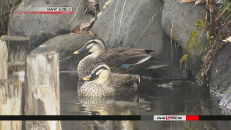 Vietnamese man accused of catching wild ducks