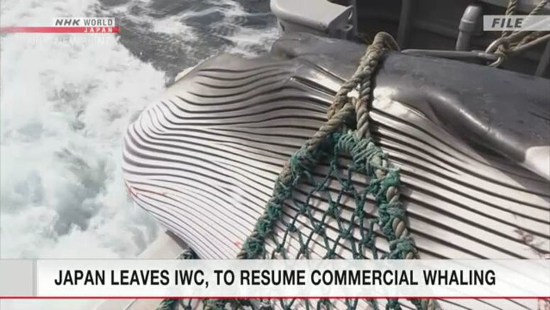 Japan leaves IWC to start commercial whaling