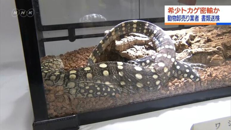 'Most beautiful lizard' smuggled to Japan
