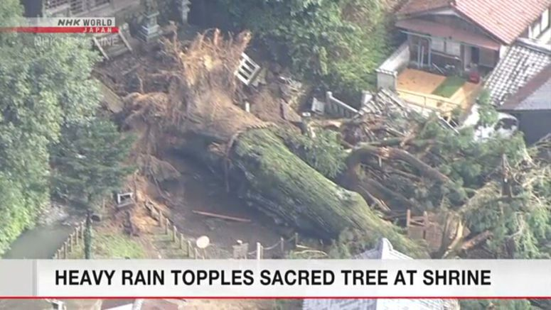 Heavy rain brings down sacred tree at Gifu shrine