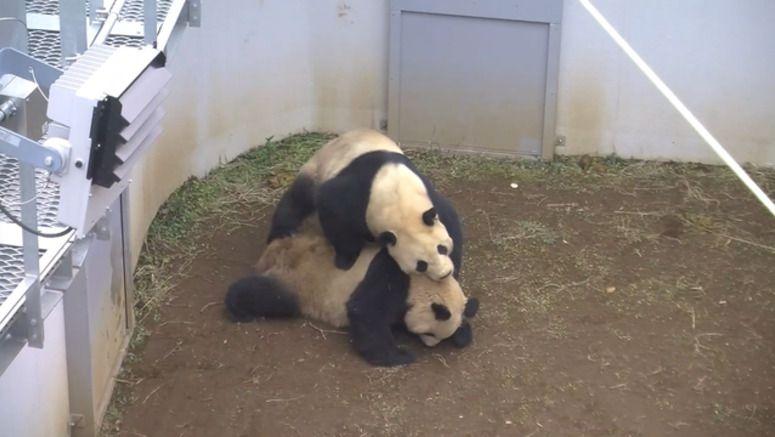 Pandas mate at Tokyo zoo