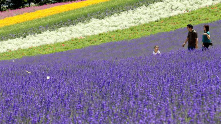 Soothing outings await those who visit lavender fields in far north