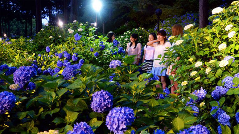 Kyoto's 'hydrangea temple' set to illuminate 10,000 plants of flowers
