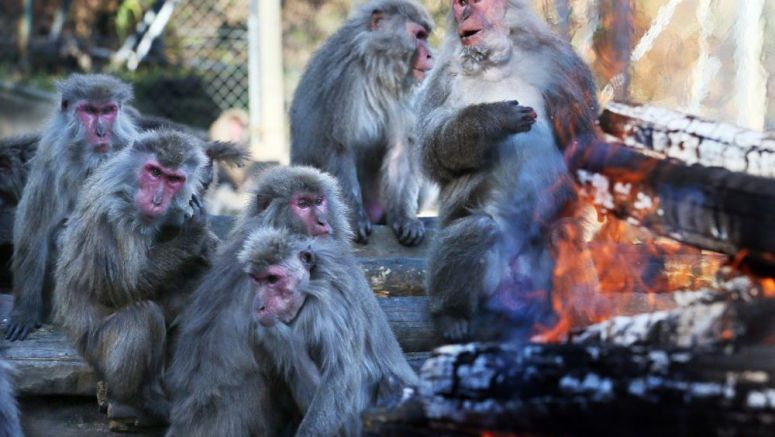 Aichi Pref. zoo puts spotlight on winter bonfire-loving monkeys