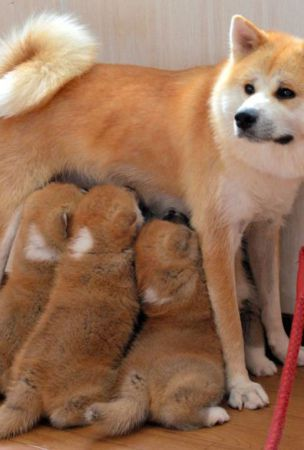 Akita Inu dog with 6 pups finds time to charm visitors at spa