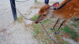 Chain eating deer at Nara