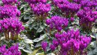 New blue cyclamen variety unveiled