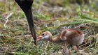 In Photos: June brings new life to Japanese crane reserve