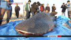 Whale shark found in Tottori river dies