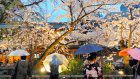 Night viewing of cherry blossoms in Kyoto returns after 3 years