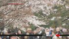 Public views Imperial Palace Cherry blossoms
