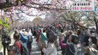 Osaka mint begins cherry blossom viewing event