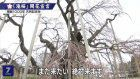 Ancient cherry tree delights in Fukushima