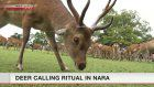 Summer deer calls begin in Nara
