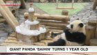 Giant panda Saihin celebrates first birthday