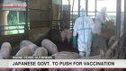 Japan decides to start vaccination of pigs