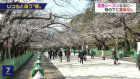 No parties held at cherry blossom viewing spot