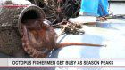 Fishing for 'Kanmon Straits octopus' reaches peak