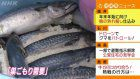Mackerel sushi production starts in Fukui