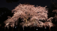 Majestic cherry tree in Tokyo a crowd magnet after blossoming